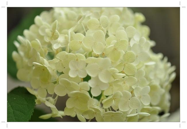 アナベル開花 2014・6月25日 (2)