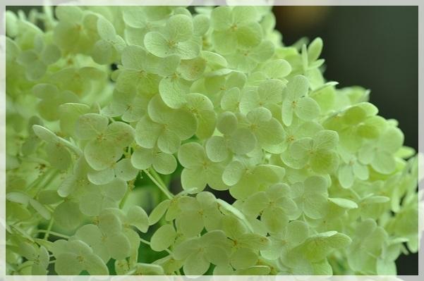 アナベル開花 2014・7月3日