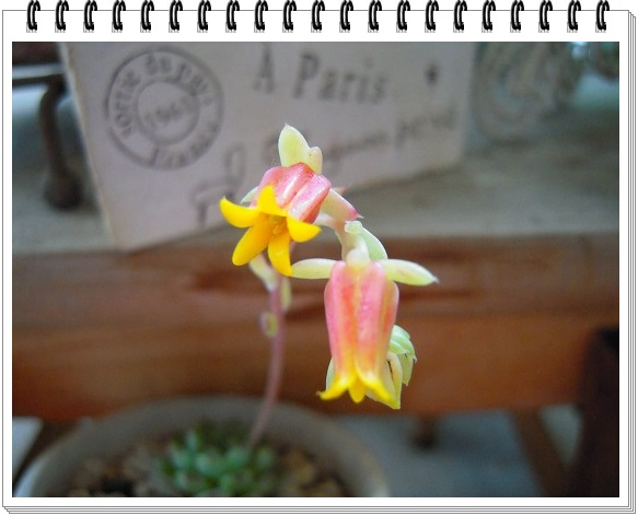 ミニマ お花開花 2014・6月25日 (2)