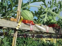 0725watermelon1.jpg