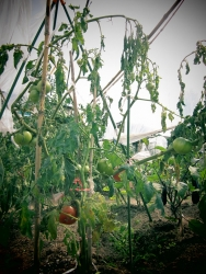 tomato is dead