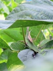2014 grasshopper