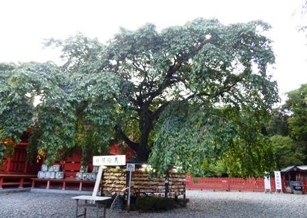 武田信玄 手植えの枝垂桜