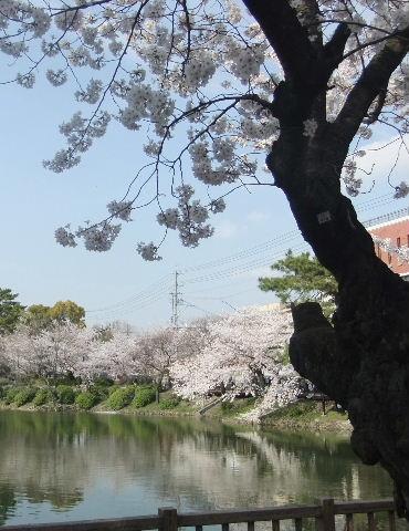 鶴舞公園桜池
