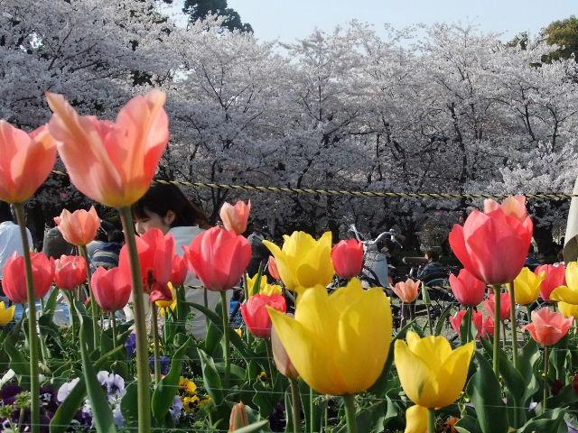 鶴舞公園桜チュウリップ