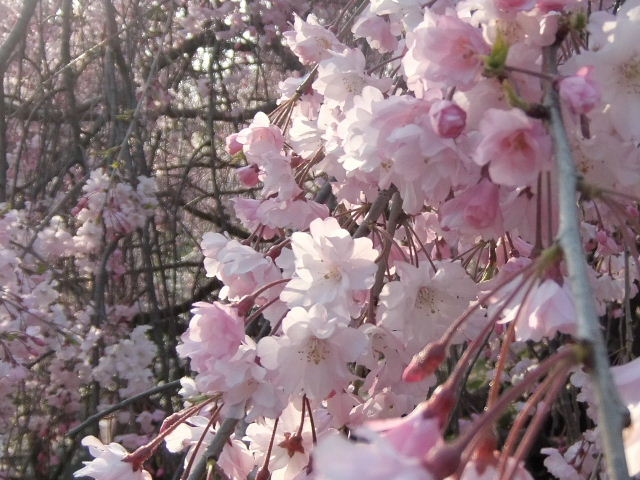しだれ桜花