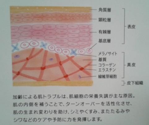 プラセンタPG 肌構造