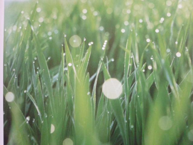 リッチグリーン 麦の写真