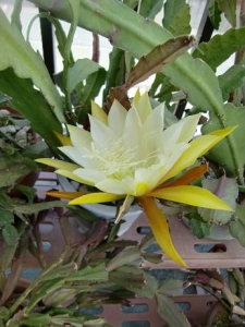 黄色孔雀サボテン