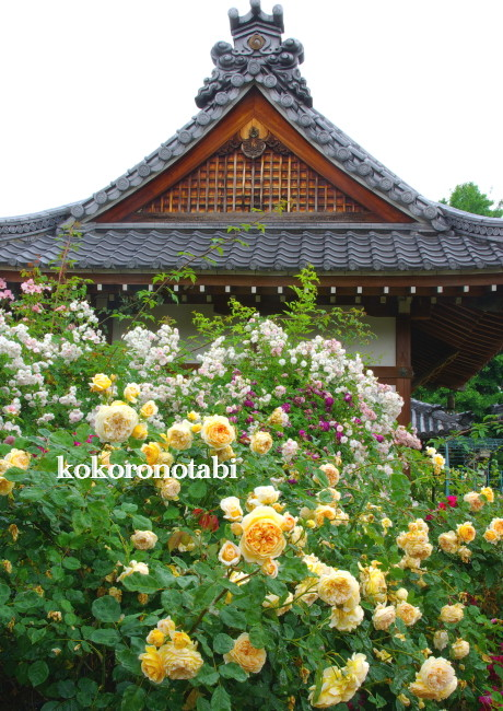 おふさ観音 薔薇2