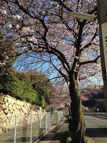 白鶴美術館の桜