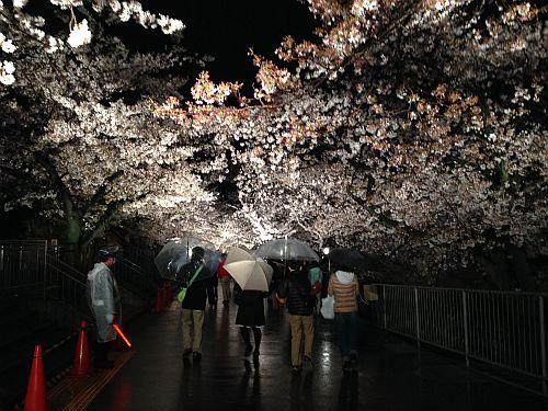 王子動物園の夜桜