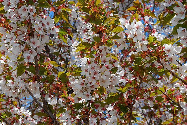 桜もまだ残ってました。