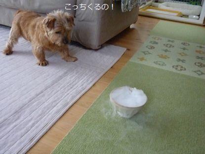 ノーフォークテリア こま&小春の日常生活