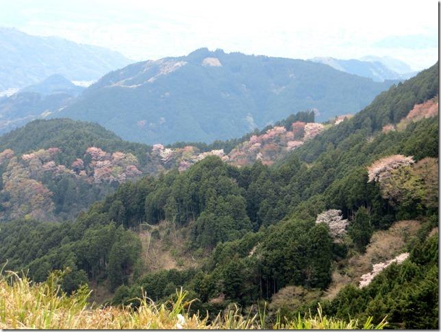 山桜が咲く 道白山方面から