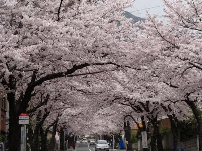 阿部山 桜