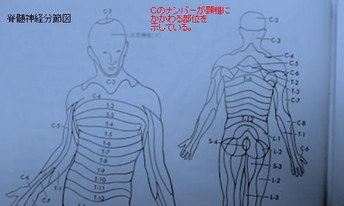 脊髄神経分節図