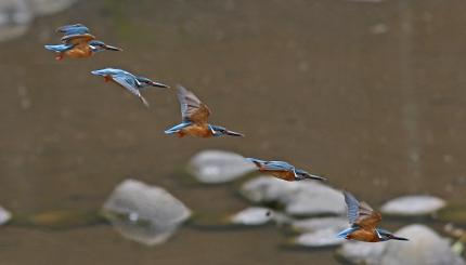 0512_♂ カワセミの飛翔