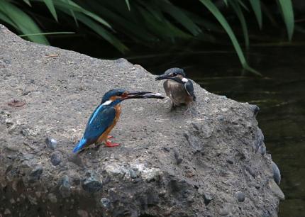 0629_3_幼鳥への給餌 1