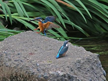 0629_5_幼鳥への給餌 3