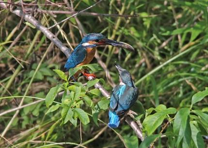 0629_6_幼鳥への給餌 4