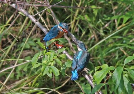 0629_7_幼鳥への給餌 5