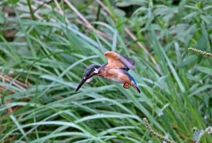 0827_♀幼鳥カワセミのダイブ 2