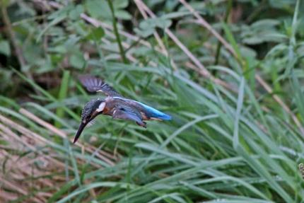 0827_♀幼鳥カワセミのダイブ 4