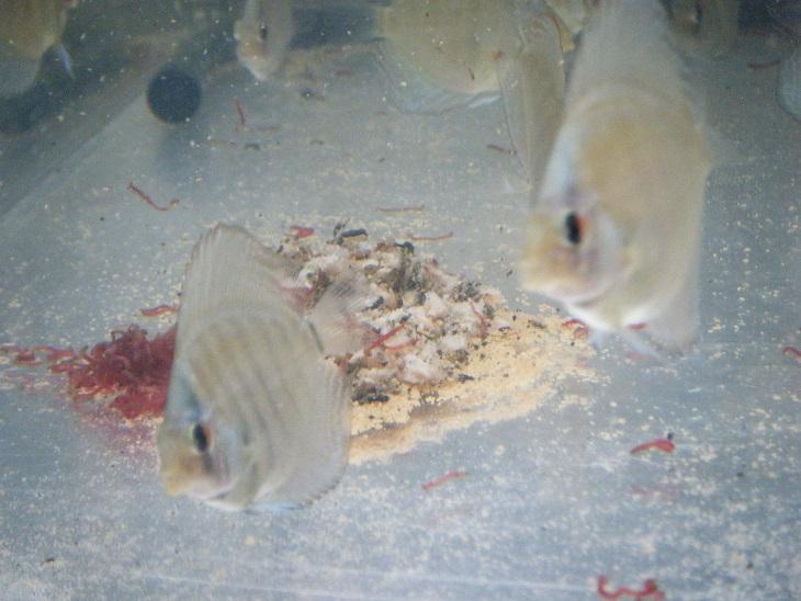 20140805-幼魚水槽1残餌
