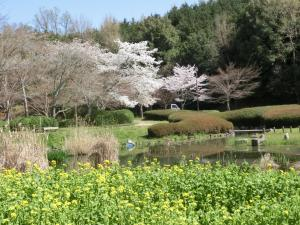 明日香 高松塚 桜