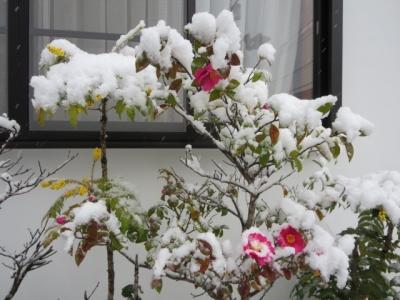 小田原、お堀端通りの雪椿