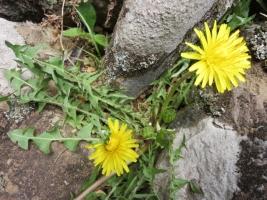 春のタンポポ