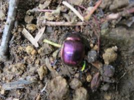 山道で見かけた甲虫、紫色に輝く