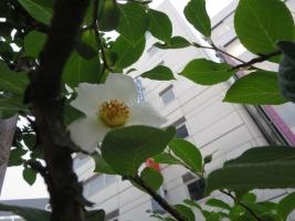 街路樹、白い花が咲いている。