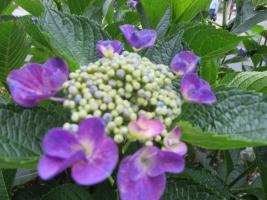 紫陽花の季節。あちこちで見かけます。