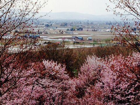 キトウシ山の桜と田園