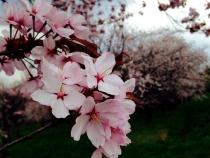 キトウシ山 桜