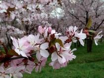 キトウシ山 桜1
