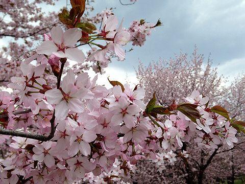 キトウシ山 桜 青空