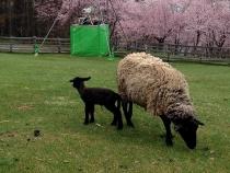 キトウシ山 羊親子