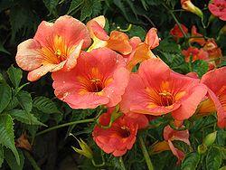 250px-CampsisGrandiflora.jpg