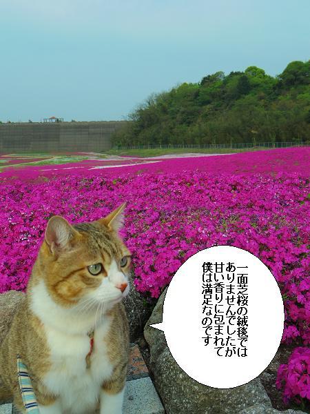 芝桜公園8