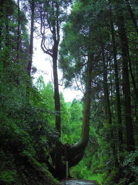 護王さんの杉5