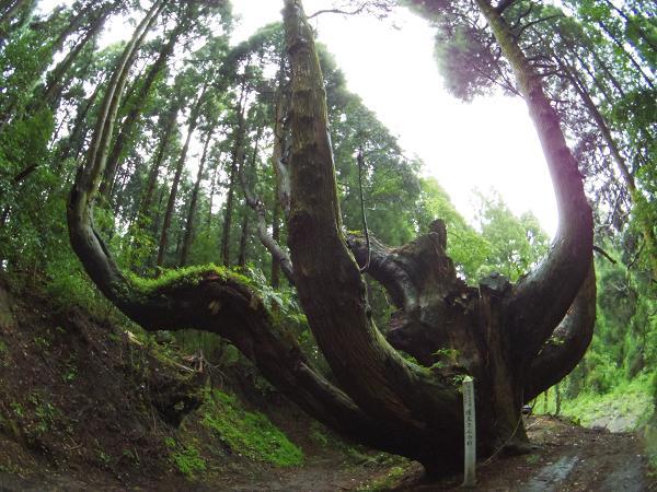 護王さんの杉10