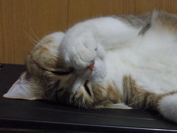 寝ているロコ
