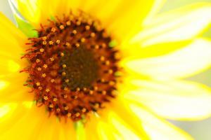 Sunflower_convert_20140407175226.jpeg