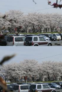 14.桜1