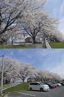 14.桜3