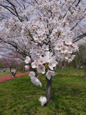 2014桜9