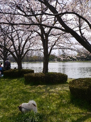 2014桜10